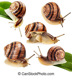 garden snail on green leaf isolated white background