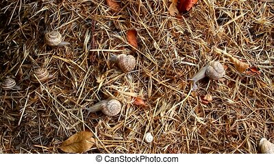 garden snail on straw