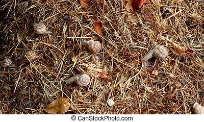 garden snail on straw - Garden snail crawling on the straw...