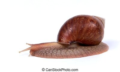 Garden snail on white background