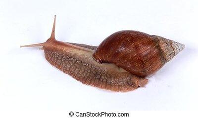 Garden snail on white background. Macro.