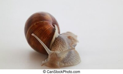 Garden snail on white - Garden snail isolated on white.