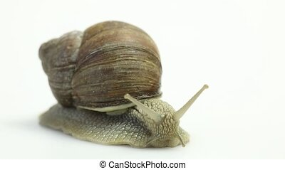 Garden snail on white