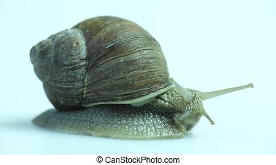 Garden snail on white - Garden snail on the white background