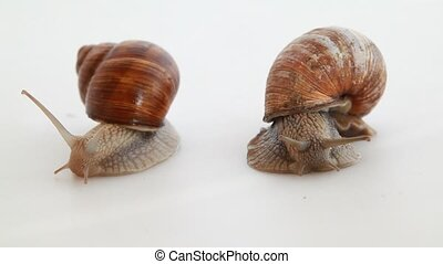 Garden snails on white - Garden snails on the white...