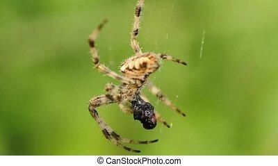 garden spider feeds a victim