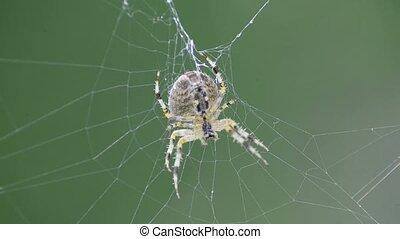 garden spider in a web