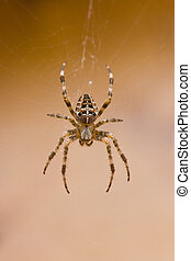 Garden spider in cobweb in fall - European Garden spider in...