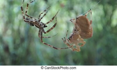 Garden spiders mating - A pair of garden spiders trying to ...