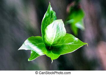 garden., sprigs, cerise, jeune, vert, printemps