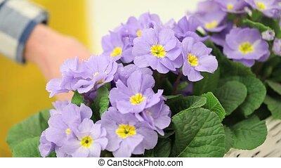 garden springtime concept, woman florist hand touch flowers...