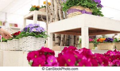garden springtime concept, florist woman hands working with...