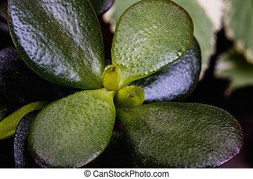 Garden succulent close up