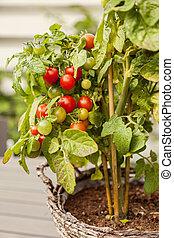 Garden tomato plant - Image of organic homegrown tomatoes.