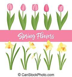 garden., tulipany, odizolowany, tło., żonkile, wiosna, rozwój, białe kwiecie