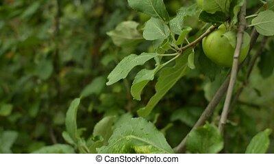garden., vert, arbre, pommes vertes