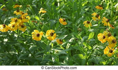 Garden - Secret garden flowers. Helenium autumnale -...