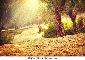 garden., vieux, verger, méditerranéen, arbre, arbres, olive
