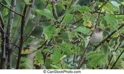 Garden warbler - Garden Warbler among the branches jumping