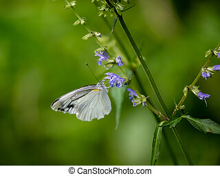 Garden white butterfly on small flowers in a Japanese forest 1