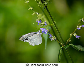 Garden white butterfly on small flowers in a Japanese forest 2