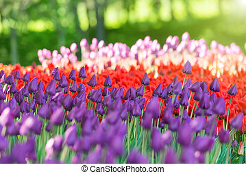 Garden with colorful tulips