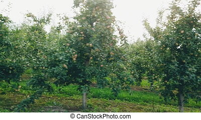 garden with green apples close-up