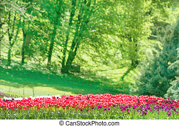 Garden with many red and pink tulips