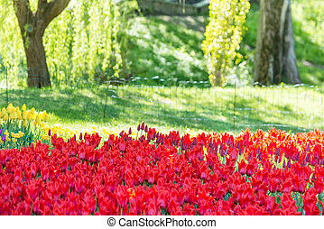 Garden with many red tulips