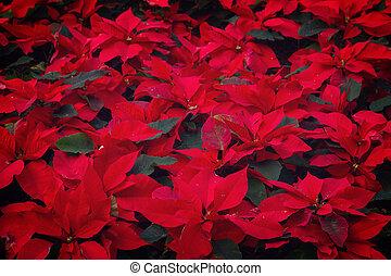 garden with poinsettia flowers or christmas star