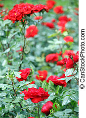 garden with red roses flowers springtime