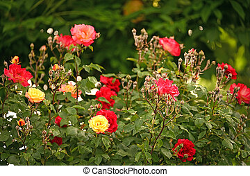 garden with red yellow and pink roses in springtime