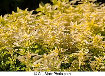 Garden with the Oregano ( Origanum vulgare )