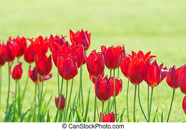 Garden with tulip flowers in summer