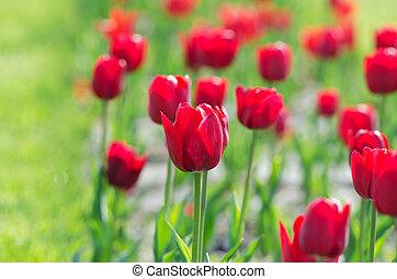 Garden with tulip flowers in summer