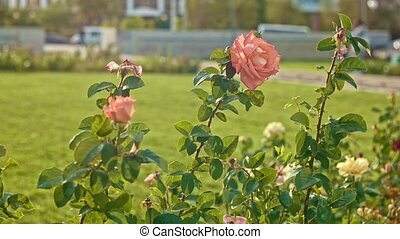 Garden with wilting in autumn roses slow motion