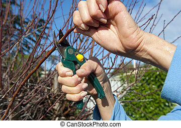Garden work - Hands with clipper pruning a bush in the ...