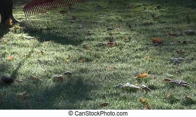 Garden worker raking leaves from frosty lawn in autumn...