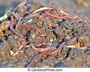 garden worms - large pile of garden or compost worms