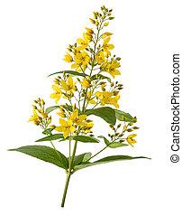 Garden Yellow Loosestrife isolated on white