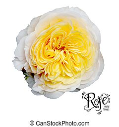 Garden yellow rose