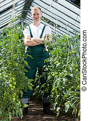 Gardener among tomatoes in greenhouse