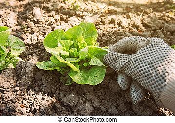 Gardener and lettuce green salad vegetable head in garden