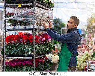 Gardener arranges red poinsettia in a nursery. Gardening concept.