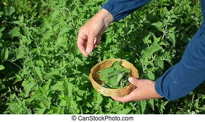 gardener balm pick - gardener woman girl hand pick balm...