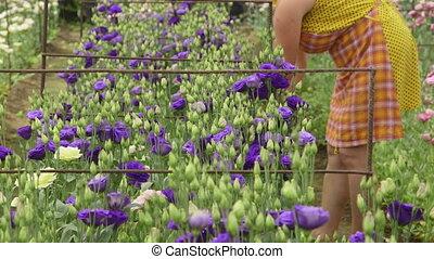Gardener cultivates alstroemeria - Female gardener working...