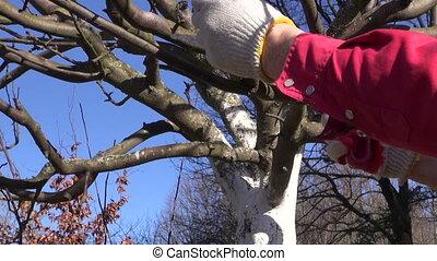 gardener cut prune apple branch