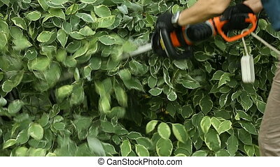 Gardener cuts electric scissors bush in garden of dern variegated. Gardener trimming hedge in green park with electric trimmer for hedge. Worker shaping bushy fence in the garden. Cutting shrub plant with orange electric trimmer. Hedge being trimmed