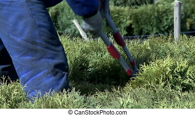 Gardener cutting bush with secateurs - View of gardener...
