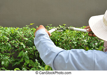 Gardener cutting hedge with grass shears